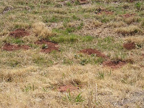 Cluster of Gopher Mounds