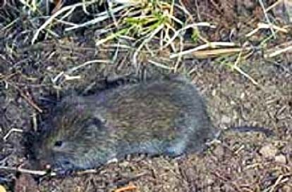 Long Tailed Vole