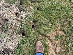 vole burrow holes