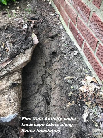 Pine Vole activity next to foundation of North Carolina home