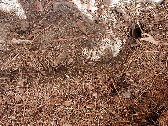 Vole Tunnel under mulch