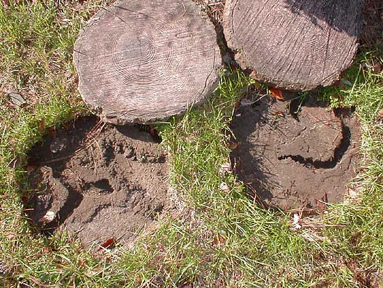 voles like to tunnel under objects that are lying on the ground such as these stepping stones notice the burrows and trenches they make